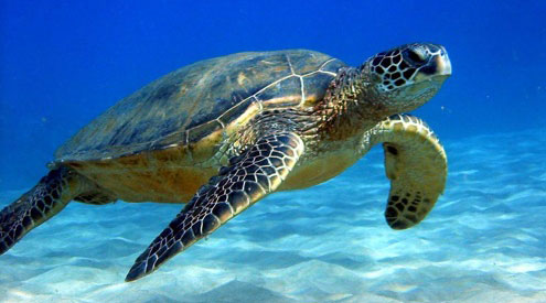 sea-turtle-swimming